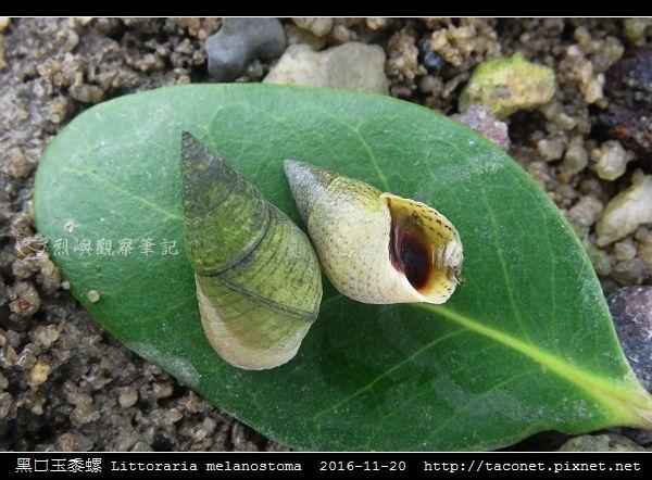 黑口玉黍螺 Littoraria melanostoma_7.jpg