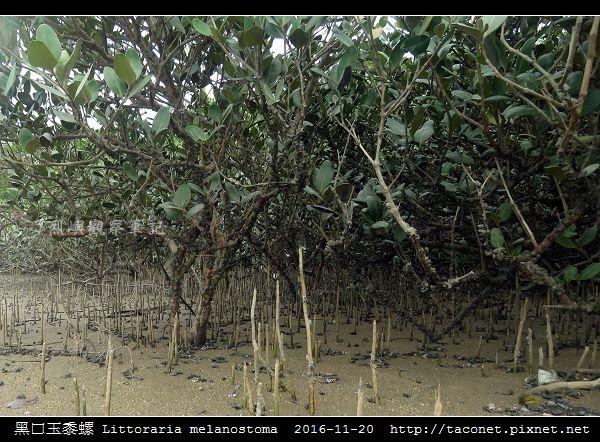 黑口玉黍螺 Littoraria melanostoma_8.jpg
