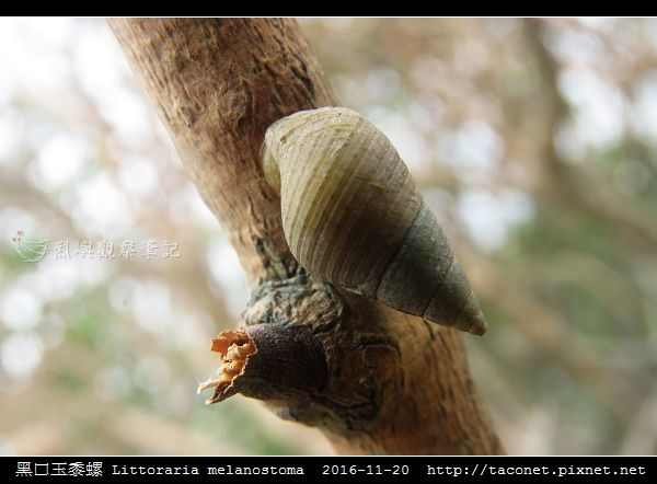 黑口玉黍螺 Littoraria melanostoma_9.jpg