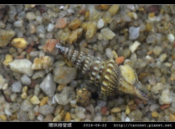 環珠捲管螺 Turricula nelliae spurius_1.jpg