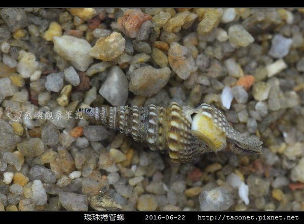 環珠捲管螺 Turricula nelliae spurius_3.jpg