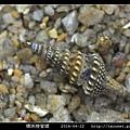 環珠捲管螺 Turricula nelliae spurius_2.jpg