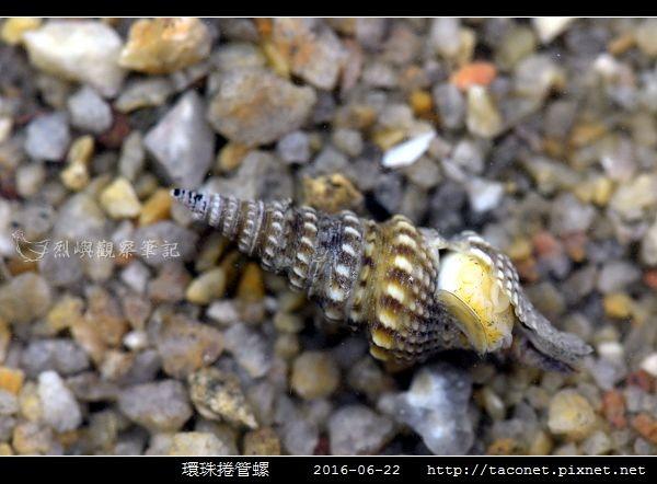 環珠捲管螺 Turricula nelliae spurius_4.jpg