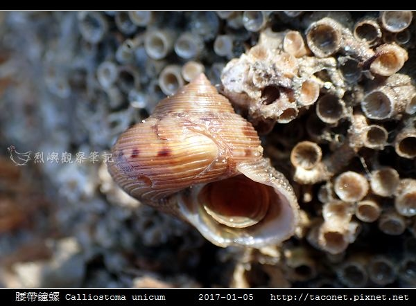 腰帶鐘螺 Calliostoma unicum_2.jpg