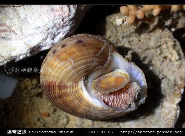 腰帶鐘螺 Calliostoma unicum_3.jpg
