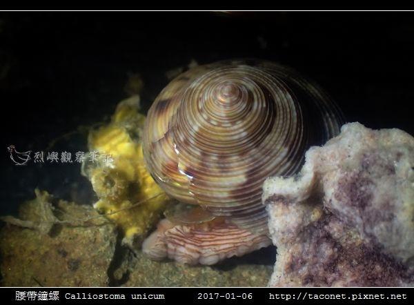 腰帶鐘螺 Calliostoma unicum_6.jpg