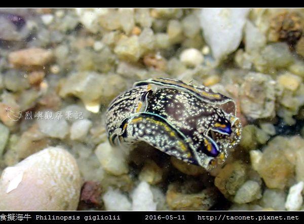 肉食擬海牛 Philinopsis gigliolii_1.jpg