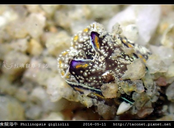 肉食擬海牛 Philinopsis gigliolii_2.jpg