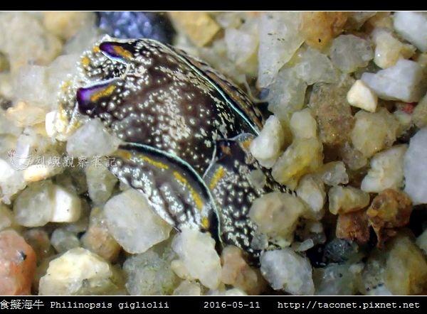 肉食擬海牛 Philinopsis gigliolii_4.jpg
