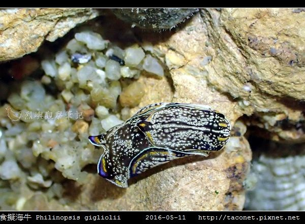 肉食擬海牛 Philinopsis gigliolii_5.jpg
