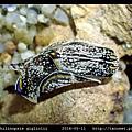 肉食擬海牛 Philinopsis gigliolii_6.jpg