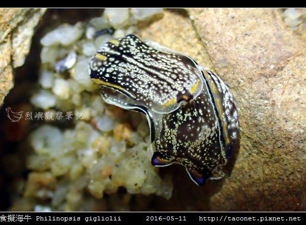 肉食擬海牛 Philinopsis gigliolii_7.jpg
