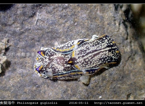 肉食擬海牛 Philinopsis gigliolii_8.jpg