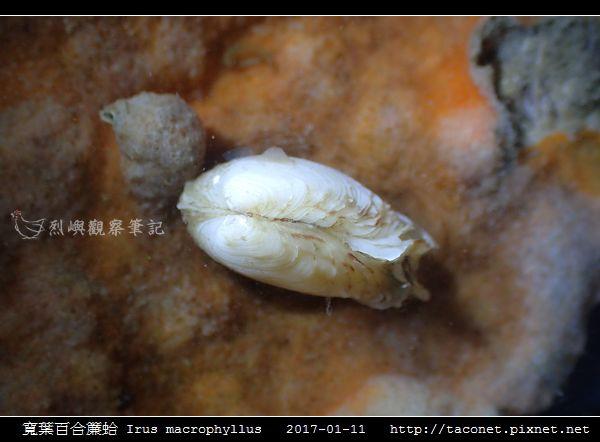 寬葉百合簾蛤 Irus macrophyllus_4.jpg