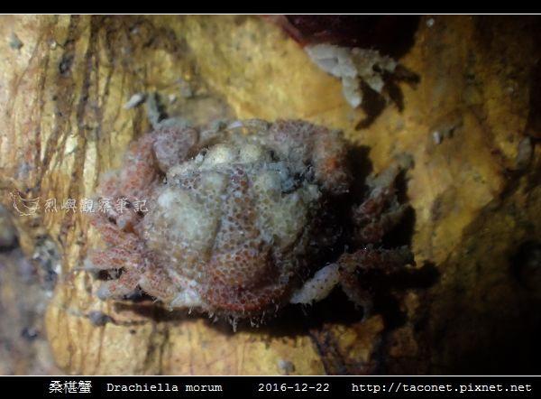 桑椹蟹 Drachiella morum_2.jpg