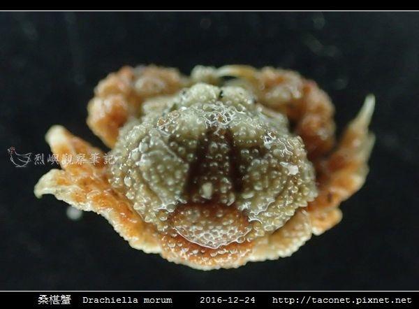 桑椹蟹 Drachiella morum_4.jpg