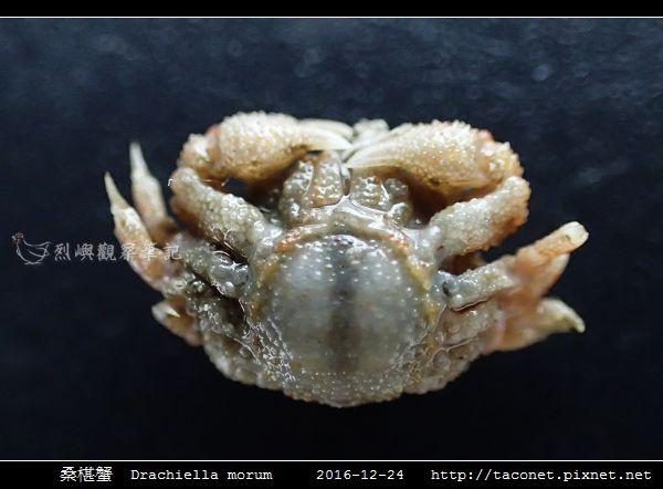 桑椹蟹 Drachiella morum_5.jpg