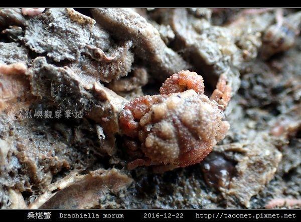 桑椹蟹 Drachiella morum_6.jpg