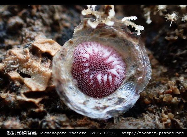 放射形碟苔蟲 Lichenopora radiata_2.jpg