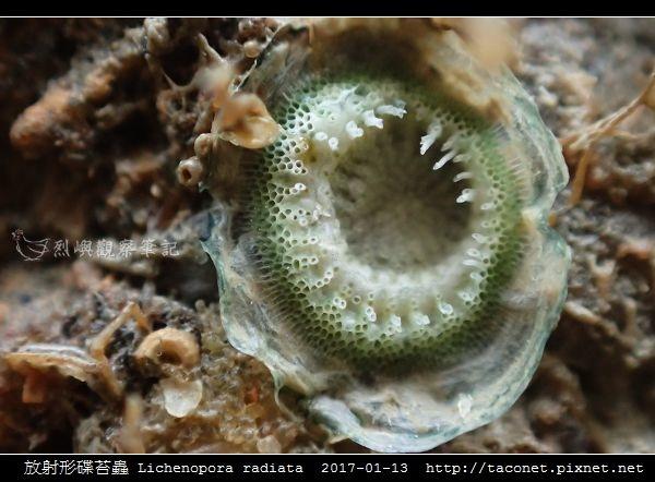 放射形碟苔蟲 Lichenopora radiata_5.jpg