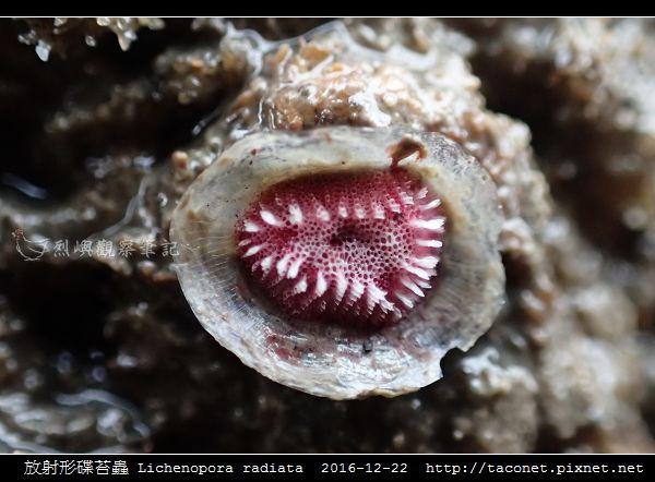 放射形碟苔蟲 Lichenopora radiata_6.jpg