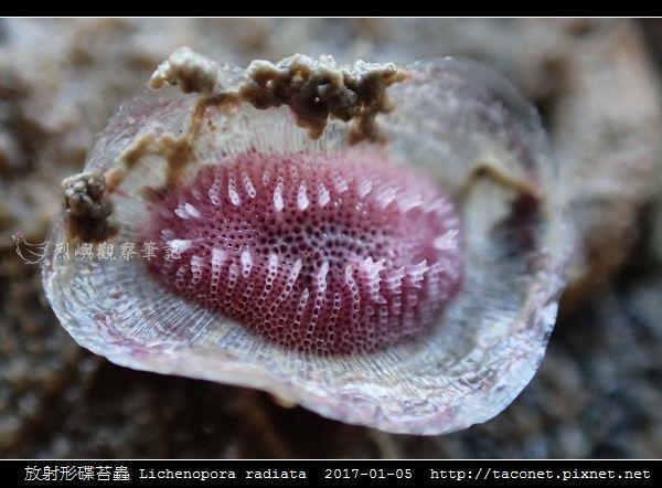放射形碟苔蟲 Lichenopora radiata_8.jpg