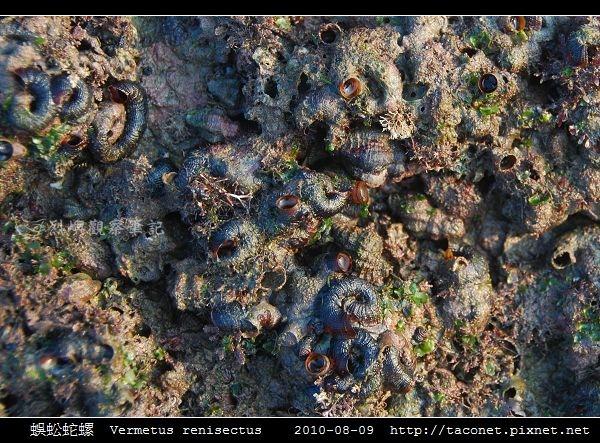 蜈蚣蛇螺 Vermetus renisectus_1.jpg