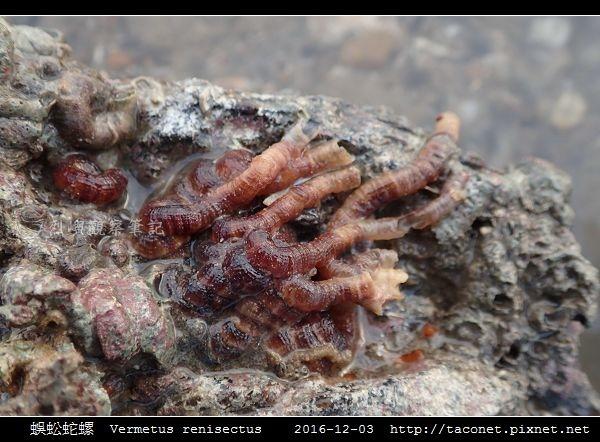蜈蚣蛇螺 Vermetus renisectus_8.jpg