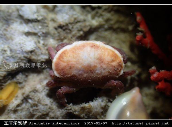 正直愛潔蟹 Atergatis integerrimus_07.jpg