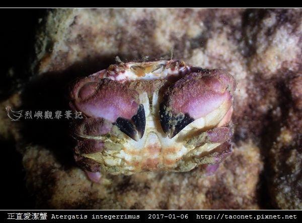 正直愛潔蟹 Atergatis integerrimus_06.jpg