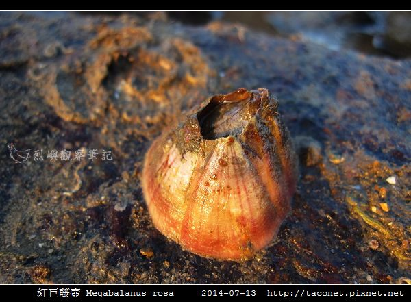 紅巨藤壺 Megabalanus rosa_1.jpg