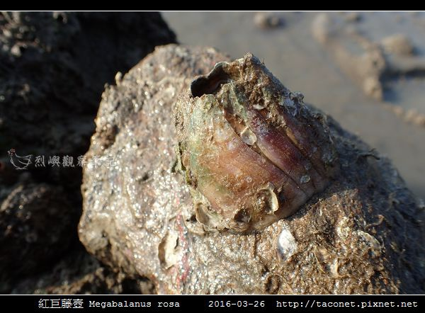 紅巨藤壺 Megabalanus rosa_3.jpg