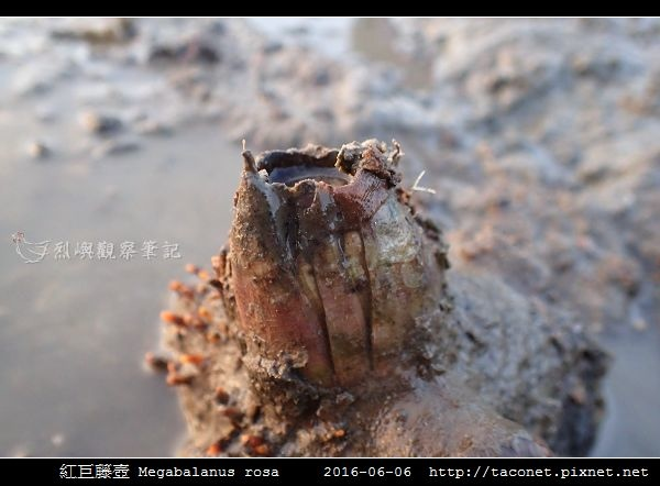 紅巨藤壺 Megabalanus rosa_4.jpg