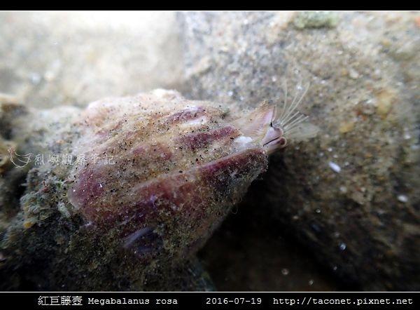 紅巨藤壺 Megabalanus rosa_6.jpg