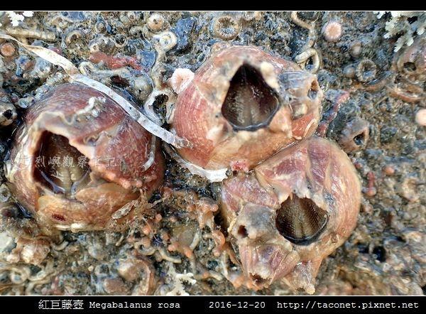 紅巨藤壺 Megabalanus rosa_7.jpg