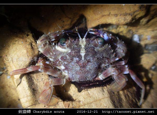 銳齒蟳 Charybdis acuta_5.jpg