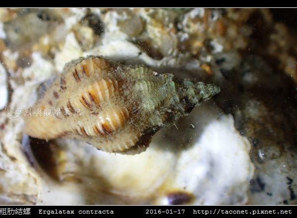粗肋結螺 Ergalatax contracta_1.jpg