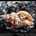 粗肋結螺 Ergalatax contracta_3.jpg