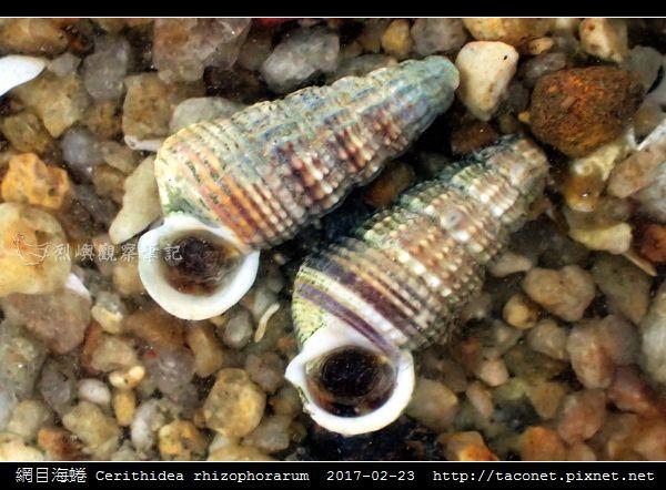 網目海蜷 Cerithidea rhizophorarum_1.jpg