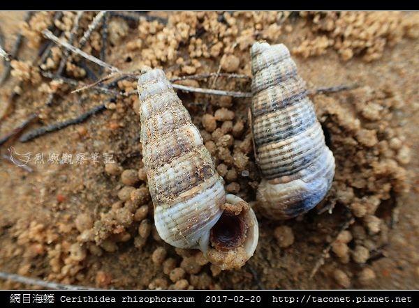 網目海蜷 Cerithidea rhizophorarum_7.jpg