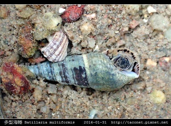 多型海蜷 Batillaria multiformis_6.jpg