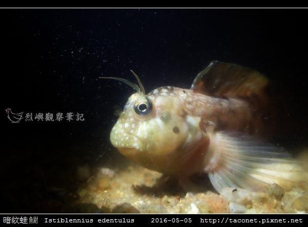 暗紋蛙鳚 Istiblennius edentulus (Forster & Schneider, 1801)