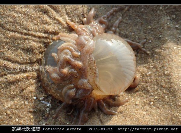 武裝杜氏海葵 Dofleinia armata_04.jpg