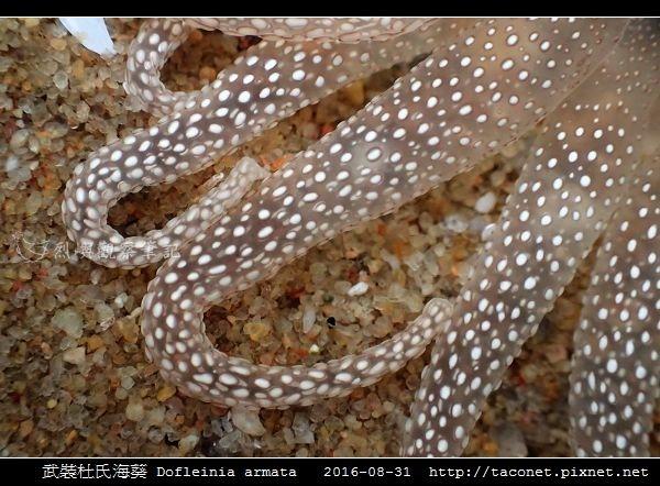 武裝杜氏海葵 Dofleinia armata_15.jpg