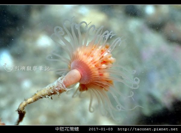 中胚花筒螅 Tubularia mesembryanthemum_02.jpg