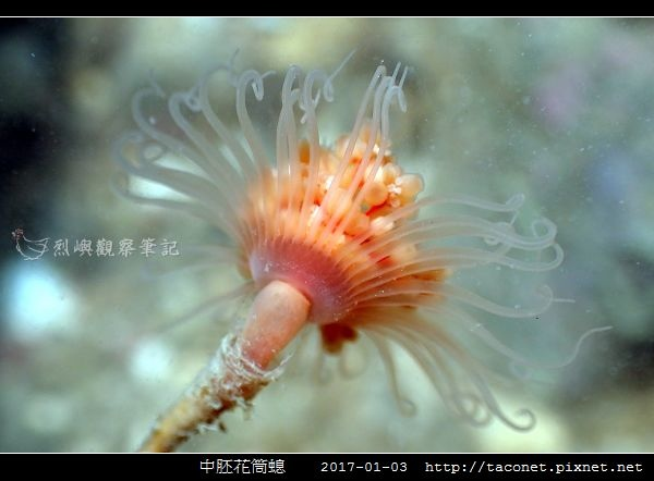 中胚花筒螅 Tubularia mesembryanthemum_03.jpg