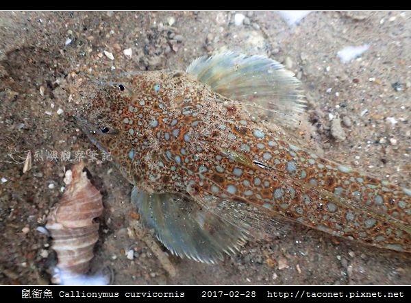 鼠銜魚 Callionymus curvicornis_1.jpg