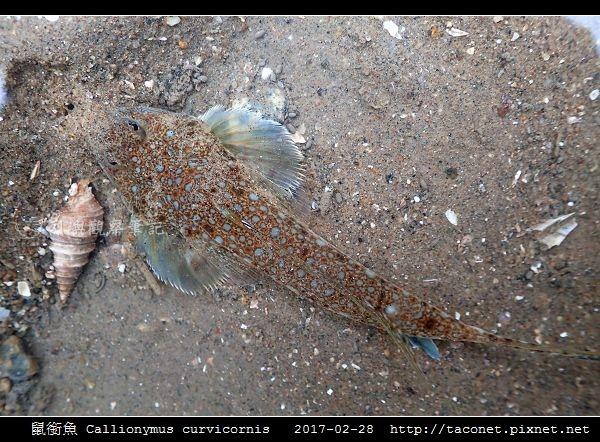 鼠銜魚 Callionymus curvicornis_2.jpg
