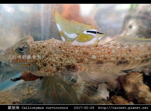 鼠銜魚 Callionymus curvicornis_4.jpg