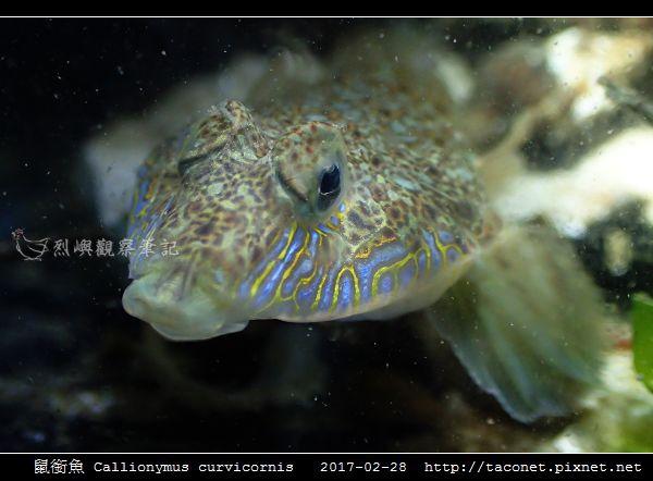 鼠銜魚 Callionymus curvicornis_5.jpg